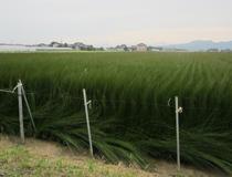 その日の風向きや収穫量を考えて網を外します。